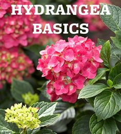 This Hydrangea basics is great. I have one hydrangea and it's looking pretty sad! Poor thing needs help. Hortensia Hydrangea, Hydrangea Macrophylla, Hydrangea Garden, Hydrangea Flower, Growing Hydrangea, Hydrangea Varieties, Types Of Hydrangeas, Hydrangea Shrub, Lavender Flowers