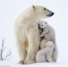 Adorable photographs show a polar bear family snuggle in the snow at Wapusk National Park in Manitoba, Canada. It protects one of the world's largest polar bear maternity denning areas.