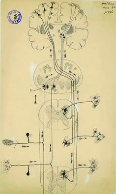 by Santiago Ramon y Cajal - In this diagram of the spinal cord, Cajal depicts both individual cells and entire nerve tracts--a view no imaging technology can match. In his sketch, motor commands travel down the spine from the left side of the brain, while sensory feedback travels up the spine to the right side of the brain.
