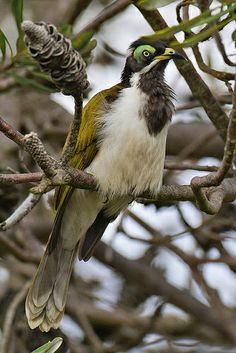 The Blue-faced Honeyeater (Entomyzon cyanotis), also colloquially known as the Bananabird, is a passerine bird of the honeyeater family Meliphagidae. The Blue-faced Honeyeater is found from the Kimberleys in northwestern Australia eastwards across the Top End and into Queensland, where it is found from Cape York south across the eastern and central parts of the state, roughly east of a line connecting Karumba, Blackall, Cunnamulla and Currawinya National Park.