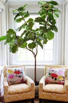 Fiddle Leaf Fig + chairs