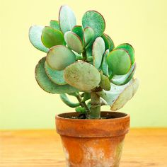 indoor plant - Silver jade plant (Crassula atropurpurea) is a little showier than its traditional cousin, bearing bigger silver-green leaves often edged in reddish purple. It does best in bright light, eventually becoming a small tree to 6 feet tall.