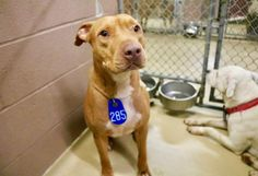 03/25/17-HOUSTON-EXTREMELY URGENT~~OWNER SURRENDER - PLEASE HELP HIM LIVE~~ ROY - ID#A480193 My name is ROY I am a male, orange and white Pit Bull Terrier. My age is unknown. I have been at the shelter since Mar 25, 2017. This information was refreshed 11 minutes ago and may not represent all of the animals at the Harris County Public Health and Environmental Services.