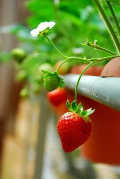 Strawberry ~ the only fruit that have seeds outside~ Strawberry Farm, Strawberry Patch, Strawberry Plant, Strawberry Fields Forever, Fruit Photography, Beautiful Fruits, Delicious Fruit, Fruits And Vegetables, Fresh Fruit