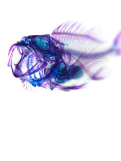 Dyed Specimen by Iori Tomita. The artist uses an enzyme to dissolve the protein and turn it transparent, and then selectively injects dyes into different tissues.
