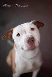 Phantom is an adoptable Pit Bull Terrier Dog in Griffith, IN. Phantom is the sweetest angel! He is everything you expect from a pit bull: affectionate, sweet, friendly, loves people, good with other d...
