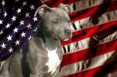 Pit bull with American flag - Happy Memorial Day!
