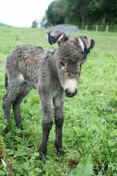 Donkeys and Burrows: A New Baby Donkey.