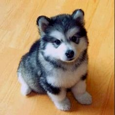 Pomski - I need this dog!!!! So cute!! This is the dog to get ;)