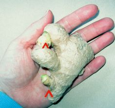 Ginger-Root-Eyes, Regrowing ginger from scraps