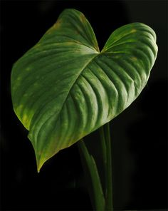 Philodendron-unknown-blade-.gif (574×720)