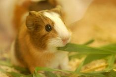Three Games To Play With Your Guinea Pigs