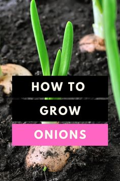 How to grow onions gardening How To Grow Onions Gardening How To Plant Onions Garden Gardener Perophiles About How To Grow nbsp hellip Green Onions Growing, Growing Plants, Growing Vegetables, Hydroponic Gardening, Organic Gardening, Gardening Tips, Sustainable Gardening, Vegetable Gardening, Above Ground Garden