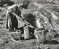 A Native American elder drying  huckleberries in the traditional way on a woven mat, with a Klickitat basket nearby. Oregon Indian