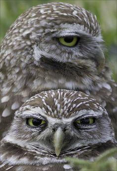 Little Owls!!! (Athene noctua)