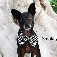 Fort Myers Florida Chihuahua Meet Smokey A For Adoption