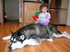 Alaskan Malamute #Dog http://tipsfordogs.info/90dogtrainingtips/