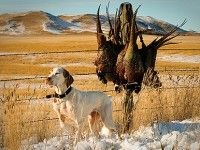 A dog that can point and hold late-season pheasant that want to run can help an entire party fill limits. This dog, Belle, is owned by Craig Armstrong. Photo by Wade Burns.