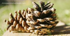 The One Thing you MUST DO Before Decorating with Pine Cones - http://www.amodernhomestead.com/one-thing-must-using-pine-cones-home/?utm_campaign=coschedule&utm_source=pinterest&utm_medium=Just%20Plain%20Marie