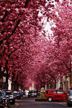 Cherry Blossom Avenue in Bonn, Germany.