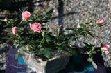 Many of the inexpensive miniature roses sold as florist's gifts are varieties of Kordana roses. These inexpensive pots of roses have been developed for their ability to grow rapidly to flowering size, and to withstand shipping and indoor conditions for the florist market. They are not scented roses.