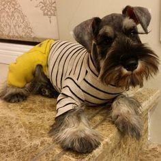 十三姨 #dog #schnauzer #my lovely friend