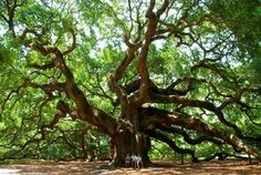 Kiawah Island SC, an island for family vacations, just look at that Live Oak