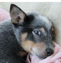 Adorable puppy Blue Heeler