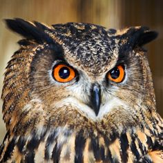 EAGLE OWL | European Eagle Owl. (European eagle owl looking into the camera)