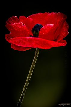 Red Poppy                                                                                                                                                                                 More
