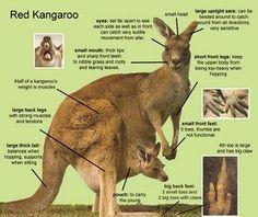 Parts of a kangaroo- Katy No-Pocket-I really needed to know (pin) this, right? Not!