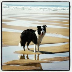 gaby border collie