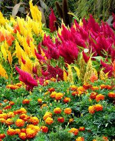 blühende blumen-garten im sommer-farben flammend-rot gelb-orange