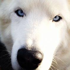 Alberta sled dog // by Holly Kean, Calgary, AB