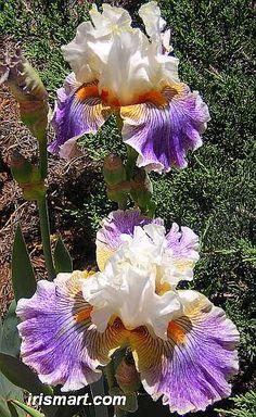 Magic Happens tall bearded irises