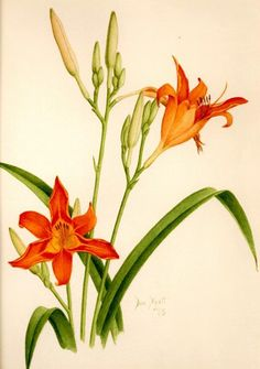 Don Hyatt's Watercolor Gallery Botanical Illustration, Botanical Prints, Watercolor Flowers, Watercolor Art, Lily Painting, Day Lilies, Tiger Lilies, Inked Magazine, Floral Illustrations