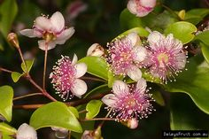Archirhodomyrtus beckleri rose myrtle compliments of anpsa