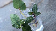 Hvordan ta stiklinger | hageterapi Plant Leaves, Plants, Plant, Planets