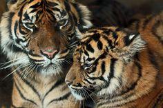 sumatraanse tijger Jarum en lara en janine burgerszoo