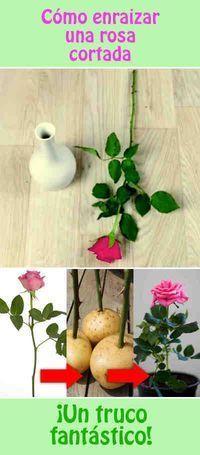 Cómo enraizar una rosa cortada
