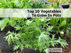If you plan to change your lifestyle in 2014, read here!   http://Piamaya.EatLessFeelFull.com  Top 10 Easiest Veggies To Grow In Pots  Growing vegetables in pots is a great solution for the 'space-ially' challenged (those tight on garden space). This is also a win if your soil isn't the healthiest. Technically, anything will grow in a pot. But some things will do better than others. Garden Drum has picked some easy ones to get us started. And as a bonus, they have thrown in tips on potting…