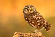 Little Owl.  Photo by Photographer Angel Pulido Domínguez