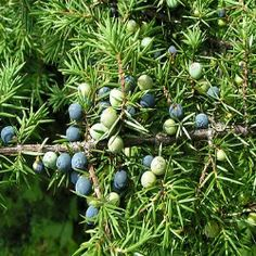 Juniper Berries Benefits, Reviews, Side Effects And Dosage