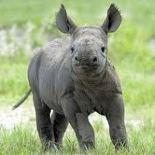Afbeeldingsresultaat voor baby rhino sitting