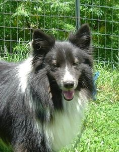 SENIOR ALERT!!!  Joey is an adoptable Shetland Sheepdog Sheltie Dog in Noblesville, IN Joey is a handsome, energetic boy. He is a 10.5 years young, 28 lbs, 16 inches tall, bi-black,  ... ...Read more about me on @Petfinder.com.com.com.com.com.com.com.com.com
