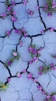 Hintergrundbilder iphone - Purple flowers like Violets growing from sidewalk cracks - - Hintergrundbilder Art Cute Backgrounds, Cute Wallpapers, Wallpaper Backgrounds, Iphone Wallpaper, Cell Phone Wallpapers, Screen Wallpaper, Cool Wallpaper, Nature Wallpaper, Painting Wallpaper