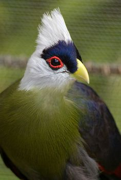 """white-crested turaco. Turaco Birds make up the bird family Musophagidae (literally """"banana-eaters""""), which includes plantain-eaters and go-away-birds. In southern Africa both turacos and go-away-birds are commonly known as louries. Musophagids often have prominent crests and long tails; the turacos are noted for peculiar and unique pigments giving them their bright green and red feathers."""