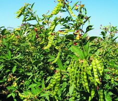 The pigeon pea, also called the Congo or Gunga pea, is a widely grown legume with a variety of uses.  The flavor of pigeon peas is often described as nutty, like a rich grain
