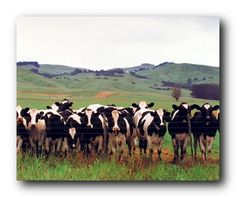 Cow Herd on a Pasture Poster Farm Animals Pictures, Farm Pictures, Frame Wall Decor, Frames On Wall, Wall Art, Framed Wall, Black Art, Country Framed Art, Framed Art Prints