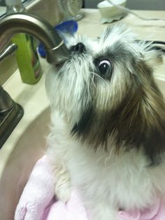 LOL! *Louie drinking from the faucet. Oh how I miss my Shih Tzu, Sh'Grrr Bear. this looks just like him.
